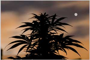 Cultivation of Marijuana Toronto Lawyer